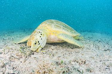 Green sea turtle (Chelonia mydas) feeding in the waters, Bermuda.