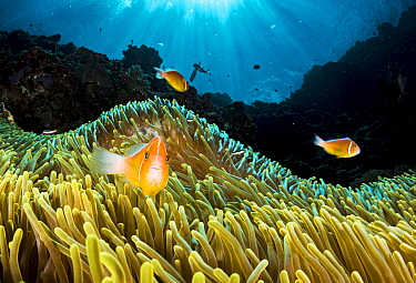 Pink anemonefish (Amphiprion perideraion) living in symbiotic association with Magnificent sea anemone (Heteractis magnifica) Palau.