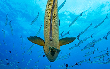 Napoleon wrasse (Cheilinus undulatus) under a school of Blackfin barracuda (Sphyraena qenie) at Blue Corner, Palau.