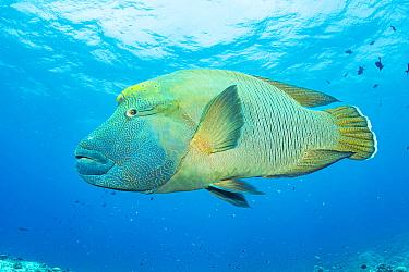 Napoleon wrasse (Cheilinus undulatus) at Blue Corner, Palau.