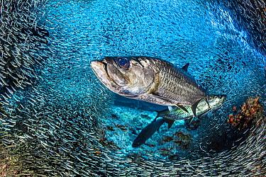 Tarpon (Megalops atlanticus) hunt Silversides (Atherinidae) inside a coral cavern. Cayman Islands.