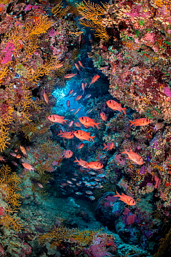 Shoal of a Red Sea soldierfish (Myripristis murdjan) shelter in a coral filled cave. Ras Mohammed National Park, Sinai, Egypt. Red Sea.