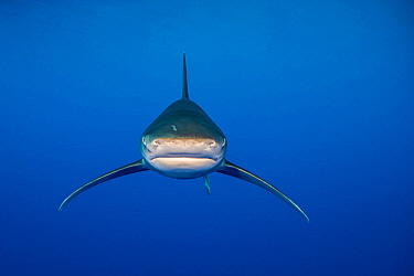Oceanic whitetip shark (Carcharhinus longimanus) swims in open waters, close to the surface. Elphinstone reef, Marsa Alam, Egypt. Red Sea.