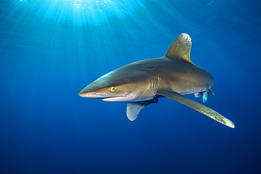 Oceanic whitetip shark (Carcharhinus longimanus) swims in open waters, close to the surface with sun beams. Elphinstone reef, Marsa Alam, Egypt. Red Sea.