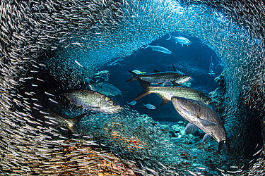 A group of Tarpon (Megalops atlanticus) hunt Silversides (Atherinidae) inside a coral cavern. George Town, Grand Cayman, Cayman Islands, British West Indies. Caribbean Sea.