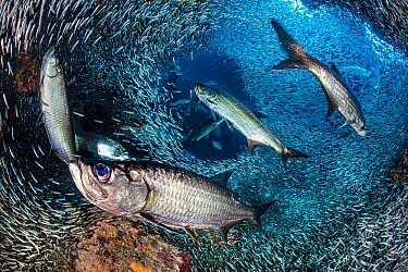 Tarpon (Megalops atlanticus) hunt Silversides (Atherinidae) inside a coral cavern. George Town, Grand Cayman, Cayman Islands, British West Indies. Caribbean Sea.