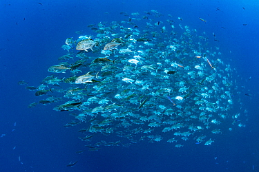 Huge school of Giant trevally (Caranx ignobilis), each fish is close to 1m in length, swimming in open water close to a coral reef. Ras Mohammed National Park, Sinai, Egypt. Red Sea.