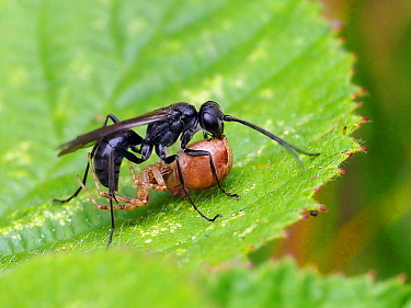 Spider hunting wasp (Anoplius nigerrimus) carrying paralysed Spider back to nest, Oxfordshire, England, UK, August