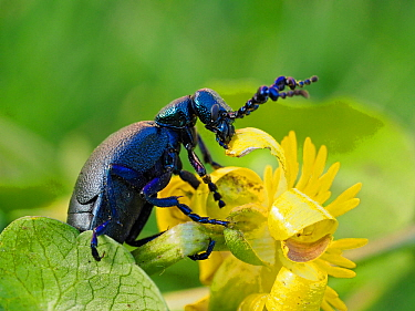 Black oil beetle (Meloe proscarabaeus) feeding on flower of Lesser cellandine (Ficaria verna), Gower, Wales, UK, February