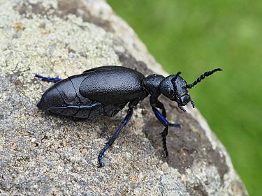 Black oil beetle (Meloe proscarabaeus) female viewed from the side, Gower, Wales, UK, February