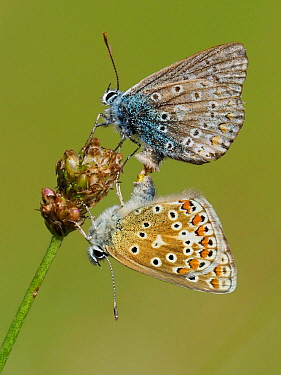 Common blue butterflies (Polyommatus icarus) mating pair, Oxfordshire, England, UK, August