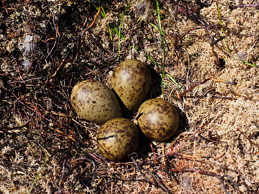 Curlew (Numenius arquata) nest with four eggs on recently burnt heather strip - this is the usual nest site on a working Grouse Moor, a recent decision to ban strip burning on deep peat will have an a...