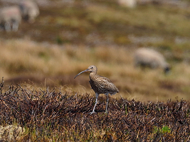 Curlew (Numenius arquata) walking back to nest on recently burnt heather strip. This is the usual nest site on a working Grouse Moor, a recent decision to ban strip burning on deep peat will have an a...