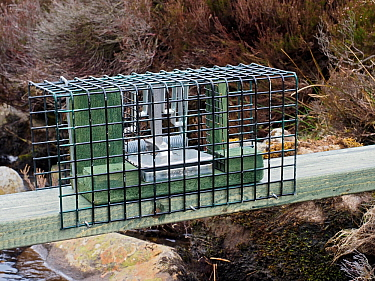 New legal type Doc Trap set across stream on Grouse Moor targeted to trap Stoat for the protection of ground nesting birds, Upper Teesdale, Co Durham, England, UK, March