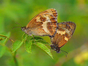 Gatekeeper / Hedge brown butterfly (Pyronia tithonus) mating pair, Hertfordshire, England, UK, June - Focus Stacked