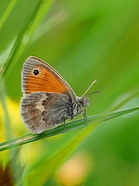 Small heath butterfly (Coenonympha pamphilus) resting in low vegetation in grass, Oxfordshire, England, UK, June - Focus Stacked