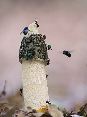 Stinkhorn fungus (Phallus impudicus) with flies and Wood Ants on cap, Buckinghamshire, England, UK, August