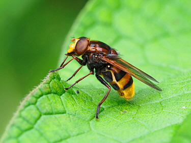 Hornet hoverfly (Volucella zonaria) perched on leaf, Buckinghamshire, England, UK, June - Focus Stacked
