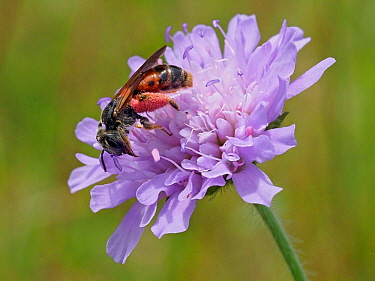 Large scabious mining bee (Andrena hattorfiana) Britain's largest mining bee with a very strong association with Scabious flowers is scarce and listed in the Red Data Book (RBD2), Oxfordshire, Eng...