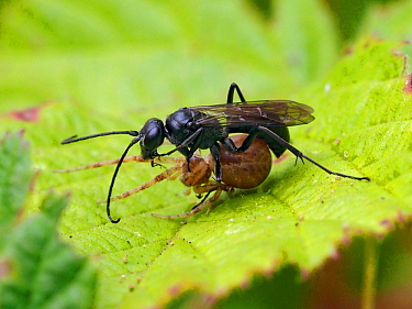 Spider hunting wasp (Anoplius nigerrimus) carrying paralysed spider prey back to nest, Oxfordshire, England, UK, August