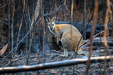 Red-necked / Bennett's wallaby (Macropus rufogriseus) in forest that was burnt during the 2019/2020 bushfires. Nurran, Victoria, Australia. February 2020.