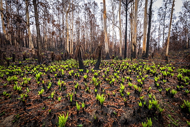 Hard tree ferns (Blechnum sp.) sprouting in burnt forest after 2019/20 bushfires devastated the area. Damaged Eucalyptus trees and soft tree ferns in the background. ?Martins Creek Scenic Reserve, Nur...