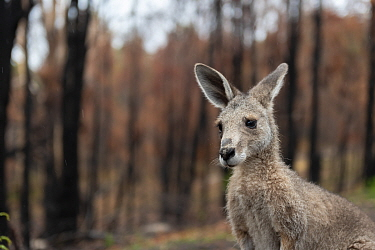 Eastern grey kangaroo (Macropus giganteus) on the burnt grounds of Wallabia Wildlife Shelter. The shelter was destroyed during the 2019/20 bushfires. This male kangaroo (called 'Link') was one...
