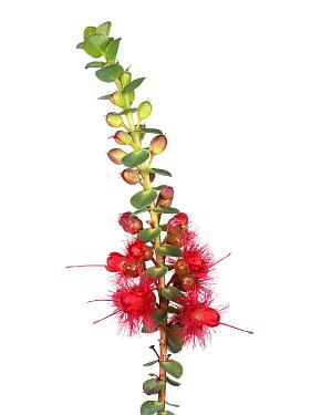 Scarlet featherflower (Verticordia grandis) Western Australia. meetyourneighbours.net project
