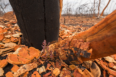 Fresh growth on scorched Eucalyptus (	Eucalyptus sp) tree, after bush fire, Queensland, Australia.