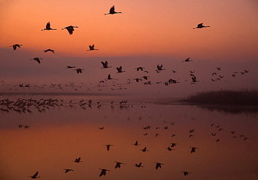 Common cranes (Grus grus) leaving the roost at dawn, Hula Valley, Northern Israel, January