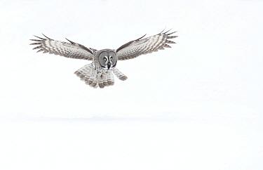 Great grey owl (Strix nebulosa) in flight. Finland, March.