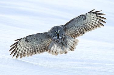 Great grey owl (Strix nebulosa) in flight, Finland, April.