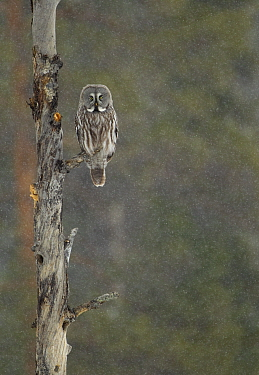 Great grey owl (Strix nebulosa) perched on a branch, Finland, April.