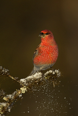 Pine grosbeak (Pinicola enucleator) perched on snowy conifer branch, Northern Finland, March.