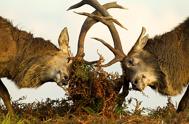 Red Deer Stags (Cervus elaphus) fighting amongst the bracken. Bradgate Park, Leicestershire, UK, October.