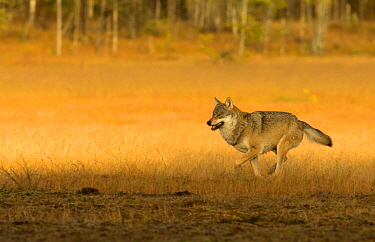 Wolf (Canis lupus), Alpha male running. Kuhmo, Finland, October.