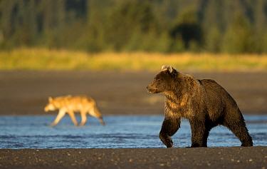 Wolf (Canis lupus) and Grizzly Bear (Ursus arctos). Lake Clark National Park, Alaska, September.
