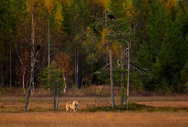 Wolf (Canis lupus), at dusk. Kuhmo, Finland, September.
