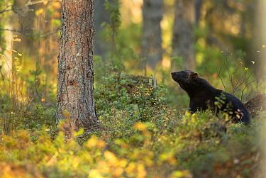 Wolverine (Gulo gulo) in forest habitat. Finland, September.