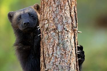 Wolverine (Gulo gulo) climbing a tree. Finland, September.
