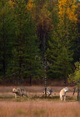 Wolves (Canis lupus), at dusk. Kuhmo, Finland, September.