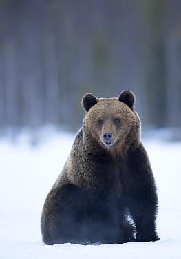 Brown Bear (Ursus arctos) adult portait, Finland, April.