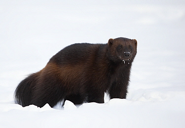 RF - Wolverine (Gulo gulo) in the snow. Finland, March. (This image may be licensed either as rights managed or royalty free.)