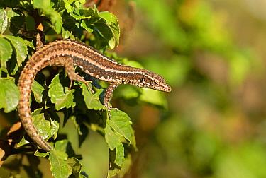Madeiran wall lizard (Lacerta dugesii) Madeira. Endemic.