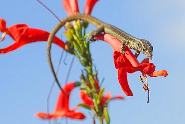 Madeiran wall lizard (Lacerta dugesii) feeding on pollen, Madeira.