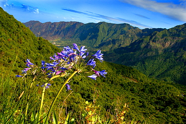 African lily (Agapanthus orientalis) and valley landscape, Madeira.