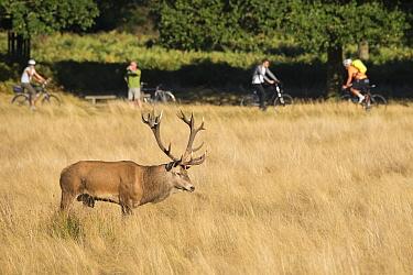 Red deer (Cervus elaphus) with people bicycling behind, Richmond Park, London, England, UK. October.
