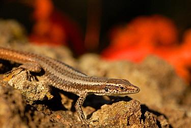 Madeiran wall lizard (Lacerta dugesii) Madeira. Endemic species.