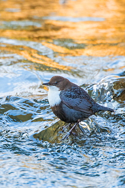 RF - Eurasian dipper (Cinclus cinclus) in river, The Netherlands. March. (This image may be licensed either as rights managed or royalty free.)