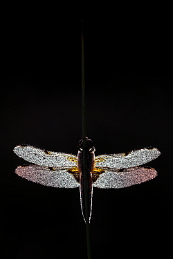 Four-spotted chaser dragonfly (Libellula quadrimaculata) covered in dew and backlit by the morning sun, Devon, UK. June.
